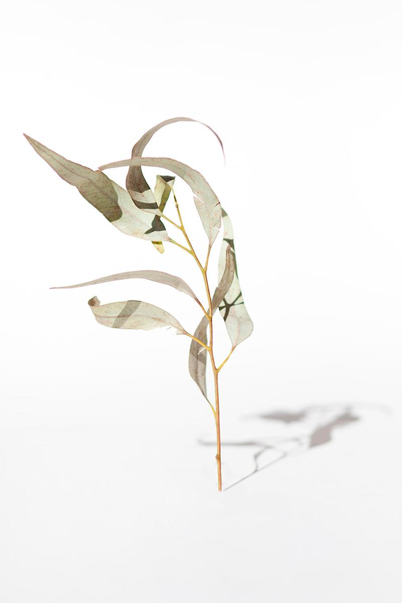 eucalipto vertical