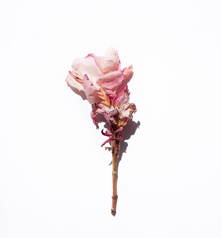 flor rosa secándose