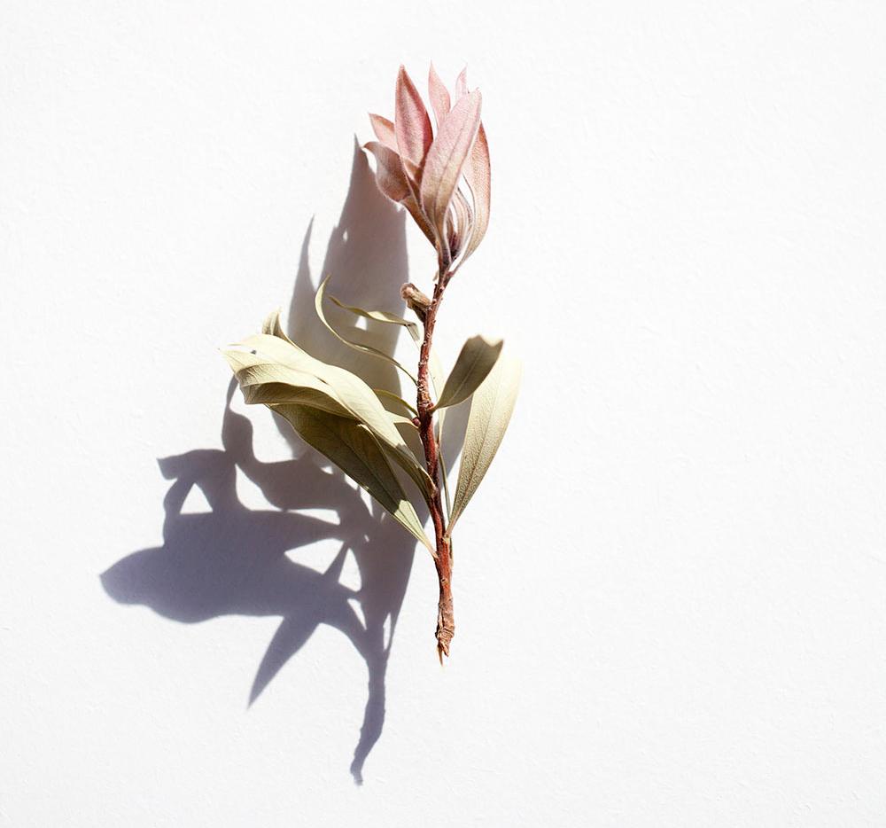 ramita rosa seca