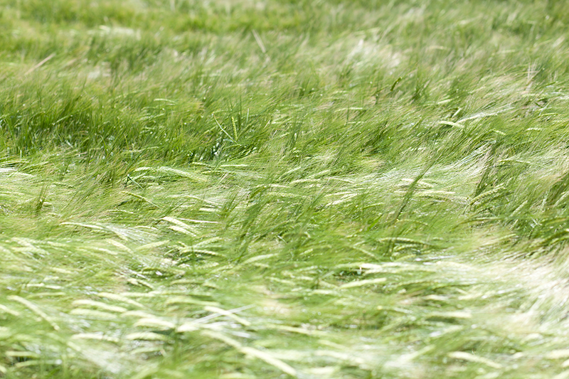 prado verde con viento moviendose