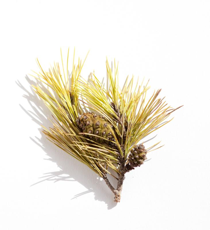 rama de pino con piña color verde amarillento